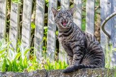 Gato de casa cinzento fora Imagens de Stock Royalty Free