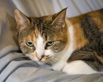 Gato de casa común Imagenes de archivo