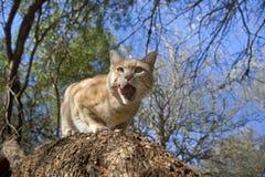Gato de casa com fome Imagem de Stock