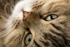 Gato de casa curioso Imagens de Stock