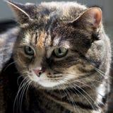 Gato de casa de la concha Imagenes de archivo