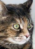 Gato de casa de la concha Fotos de archivo