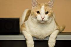 Gato de casa do animal de estimação Foto de Stock
