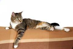 Gato de casa doméstico foto de archivo libre de regalías