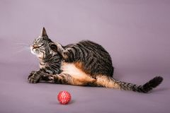 Gato de casa doméstico que avança atrás de sua orelha no retrato do estúdio imagem de stock royalty free