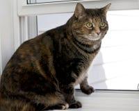 Gato de casa excesso de peso Imagens de Stock