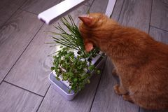 Gato de casa que come la hierba La hierba crece especialmente para que el gato consiga las vitaminas necesarias comiéndolo // foto de archivo