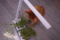 Gato de casa que come la hierba La hierba crece especialmente para que el gato consiga las vitaminas necesarias comiéndolo // imágenes de archivo libres de regalías
