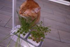 Gato de casa que come la hierba La hierba crece especialmente para que el gato consiga las vitaminas necesarias comiéndolo // foto de archivo libre de regalías