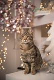 Gato de casa que senta-se em uma tabela com decoração do Natal fotografia de stock royalty free