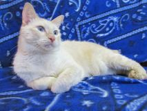 Gato de cauda cortada do americano fotografia de stock royalty free
