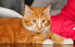 Gato de cauda cortada do vermelho fotografia de stock royalty free