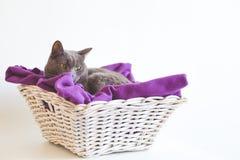 Gato de Chartreaux que descansa em uma cesta com uma cobertura roxa Imagem de Stock
