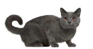 Gato de Chartreux, 16 meses velho, sentando-se Imagem de Stock Royalty Free