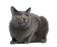 Gato de Chartreux, 20 meses Fotos de archivo libres de regalías