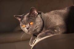 Gato de Chartreux fotografia de stock
