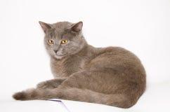 Gato de Chartreux, 9 meses Fotografía de archivo