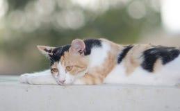 Gato de Chipre Imagens de Stock