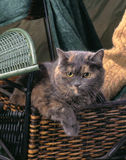 Gato de chita Imagens de Stock Royalty Free