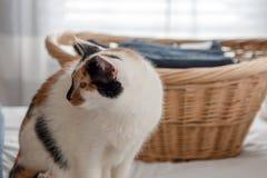 Gato de chita ao lado da cesta de lavanderia imagem de stock