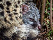 Gato de civeta que miente abajo ocultado en los arbustos Fotografía de archivo