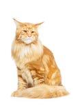 Gato de Coon bonito de Maine Imagem de Stock Royalty Free
