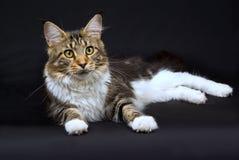 Gato de Coon bonito de Maine no preto Imagens de Stock Royalty Free