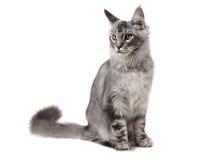 Gato de coon cinzento de maine Fotos de Stock Royalty Free