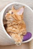 Gato de Coon clásico rojo de Maine del tabby Foto de archivo libre de regalías