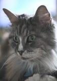Gato de Coon de Maine Fotos de archivo