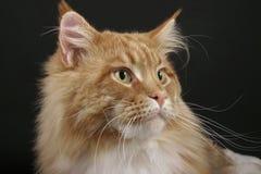 Gato de Coon de Maine Fotografía de archivo