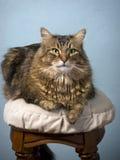Gato de Coon de Maine Imagens de Stock Royalty Free