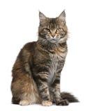 Gato de coon de Maine, 3 anos velho Fotos de Stock Royalty Free