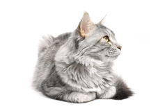 Gato de coon de Maine Foto de Stock Royalty Free
