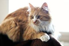 Gato de Coon de Maine Imagenes de archivo