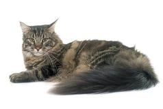 Gato de Coon de Maine Foto de archivo libre de regalías