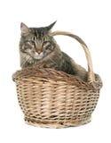 Gato de Coon de Maine Imágenes de archivo libres de regalías