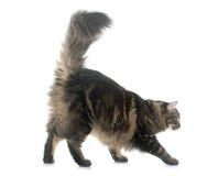 Gato de Coon de Maine Imagen de archivo libre de regalías