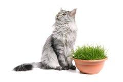 Gato de coon de Maine aislado e hierba Fotos de archivo libres de regalías