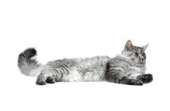Gato de coon de Maine que se relaja Fotografía de archivo libre de regalías