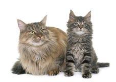 Gato de coon de Maine y gatito Imagen de archivo
