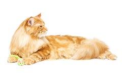 Gato de Coon hermoso de Maine Imágenes de archivo libres de regalías
