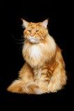 Gato de Coon hermoso de Maine Imagen de archivo libre de regalías