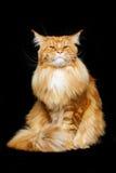 Gato de Coon hermoso de Maine Fotos de archivo