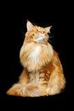 Gato de Coon hermoso de Maine Imagen de archivo