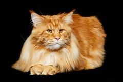Gato de Coon hermoso de Maine Fotografía de archivo libre de regalías