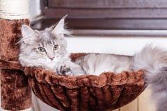 Gato de Coon joven de Maine Imágenes de archivo libres de regalías