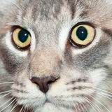 Gato de coon listrado bonito de maine Imagens de Stock Royalty Free