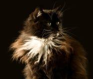 Gato de Coon mullido de Maine foto de archivo libre de regalías