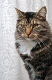 Gato de coon peculiar de Maine Imágenes de archivo libres de regalías